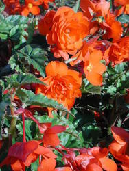 Begonia t. pendula Chanson měděná F1 50 pelet - 2