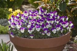 Viola c. Floral White Purple Wing  F1 250 seeds - 2