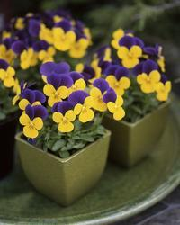 Viola c. Floral Gold Purple Wing F1 250 seeds - 2