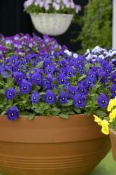 Viola c. Floral Deep Blue Blotch F1 250 seeds - 2