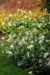 Gaura lindheimeri Sparkle White 250s - 2