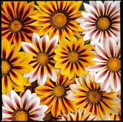 Gazania New Day Tiger Mix F1 200s - 2