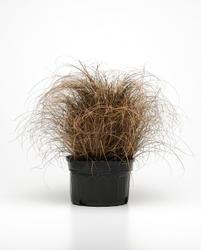 Carex Bronco 200 semen - 2