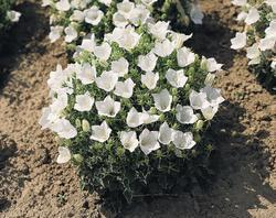 Campanula carpatica White Clips 500 seeds - 2