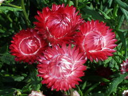 Helichrysum bracteatum Rudé 2g - 2