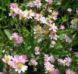 Helichrysum cassinianum Gabriele 1g - 2