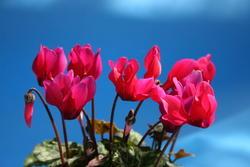 Cyclamen persicum mini Hillde 100s - 2