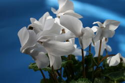 Cyclamen persicum White 100 seeds - 2