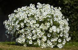 Petunia h. White Velvet F1 250 pelet - 2