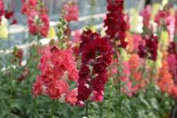 Antirrhinum m.Madame Butterfly Mix F1 500s - 2