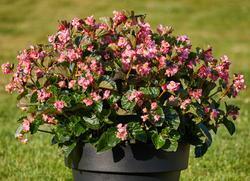 Begonia i.Sensation Pink Green Leaf F1 250 pelet - 2