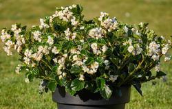 Begonia i.Sensation White Green Leaf F1 50 pelet - 2