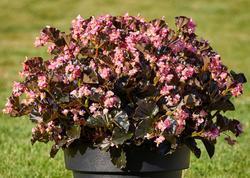Begonia i.Sensation Pink Bronze Leaf F1 50 pelet - 2