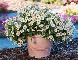 Petunia hybrida Ingrid 1/16g - 2