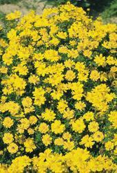 Cosmos sulphureus Cosmic Yellow 100s - 2
