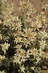 Leontopodium alpinum Edelweiss 0,25g - 2