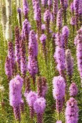 Liatris spicata Floristan Violet 1g - 2