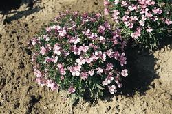 Lobelia erinus Riviera Lilac 0,5g - 2