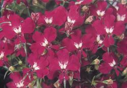 Lobelia erinus Riviera Rose 0,5g - 2