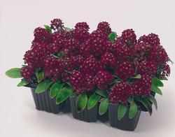 Lobularia m. Easter Bonnet Violet 1g - 2