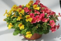 Mimulus Magic Mix F1 1000s - 2