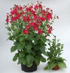 Nicotiana Perfume Bright Rose F1 250s - 2