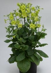 Nicotiana Perfume Lime F1 250s - 2