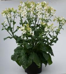 Nicotiana Perfume White F1 250s - 2
