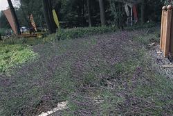 Lavandula ang. Munstead Variety 1000 seeds - 2