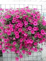 Petunia h. Purple Velvet F1 50 pelet - 2
