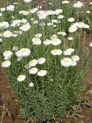 Helipterum roseum bílé 1g - 2