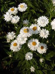 Helichrysum bracteatum Bílé 2g - 2