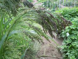 Panicum violaceum 5g - 2