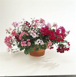 Pelargonium peltatum Summer Showers F1 100s - 2