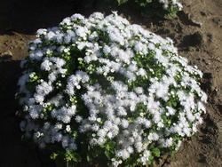 Ageratum houstonianum White 1g - 2
