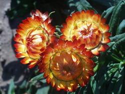 Helichrysum bracteatum Oranžové 2g - 2