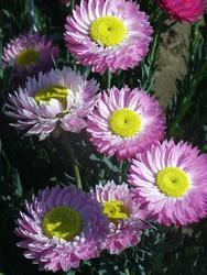 Helipterum roseum růžové 1g - 2