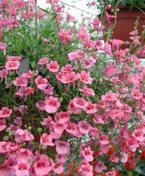 Diascia barberae Pink Queen 1g - 2
