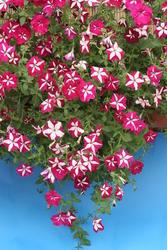 Petunia pendula Lavina purpurová hvězda F1 300s - 2