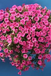 Petunia h. Rose Vein Velvet F1 50 pelet - 2