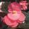 Begonia x b. Big® Rose Bronze Leaf F1 200 pelet - 2/2
