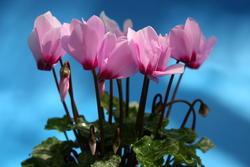 Cyclamen persicum mini Rosemarie 100s - 2