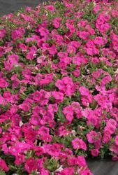 Petunia h. Rosy Velvet  F1 250 pelet - 2