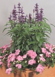 Salvia farinacea Evolution Violet 1000 seeds - 2