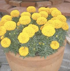 Tagetes erecta Discovery Yellow F1 200s - 2