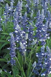 Salvia farinacea Fairy Queen 1000s - 2