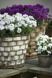 Verbena hybrida Quartz XP White 500 seeds - 2