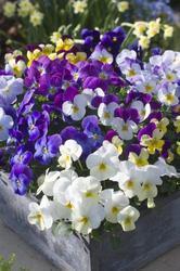 Viola c. Floral Mixture F1 250s - 2