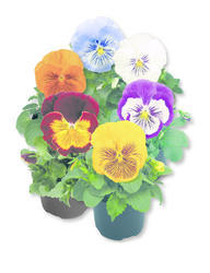 Viola x w.Cats Mix F1 500 seeds - 2