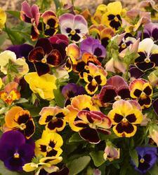 Viola x w. Sch. Ries. Prachtmischung 1g - 2